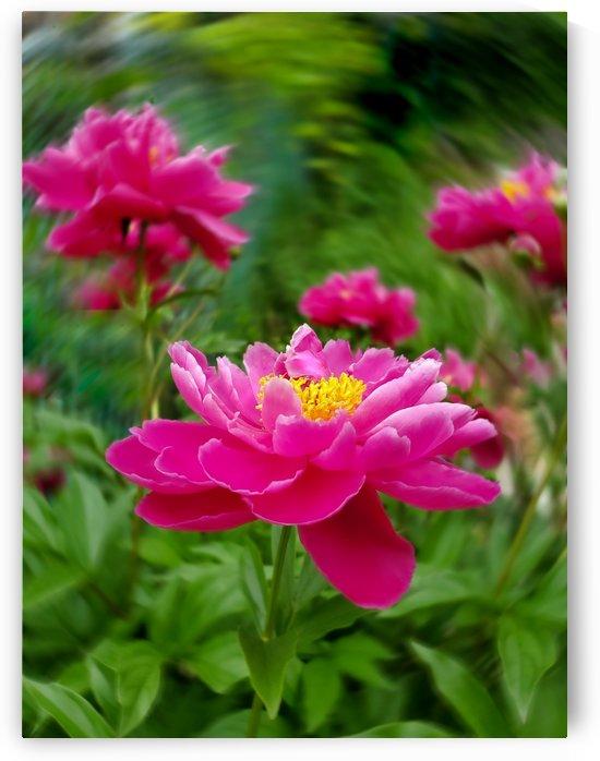 Pink Peonies I by Joan Han