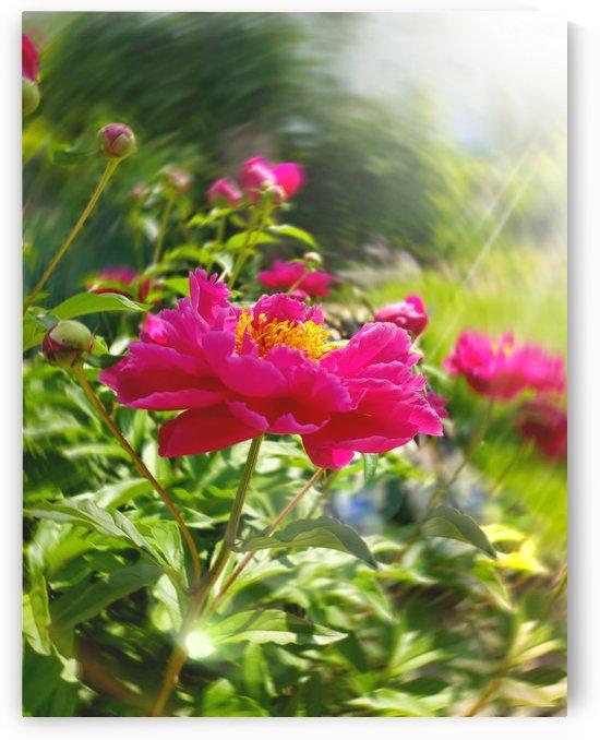 Pink Peonies by Joan Han