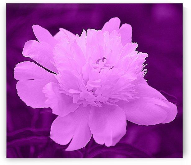 Peony IV Purple by Joan Han