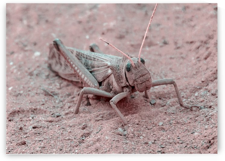 Locust at Ground Talampaya National Park La Rioja Argentina by Daniel Ferreia Leites Ciccarino