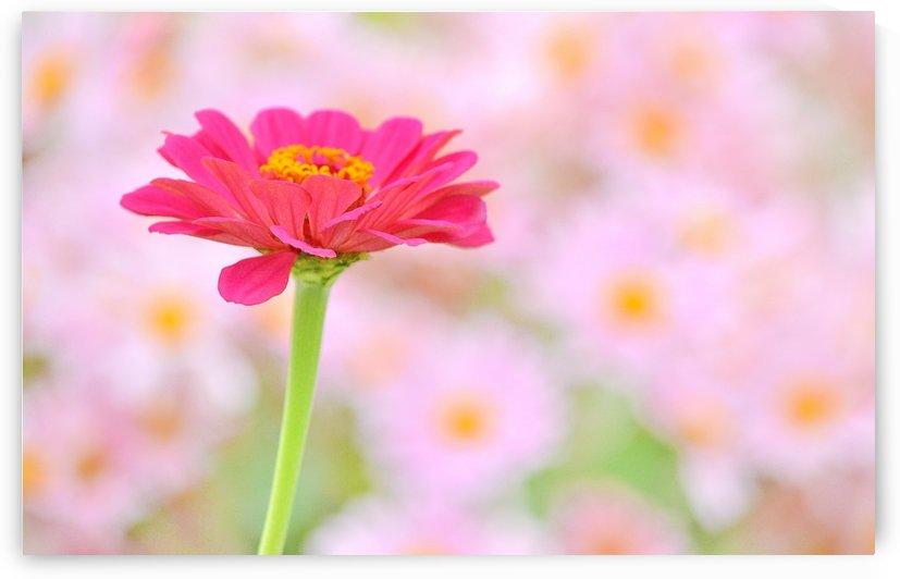 Pink Glorious by Joan Han