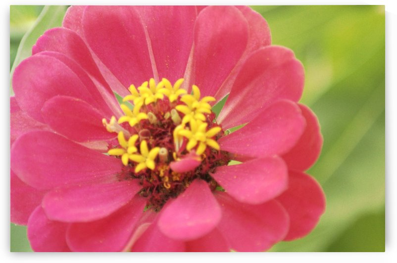 Pink Zinnia by Joan Han