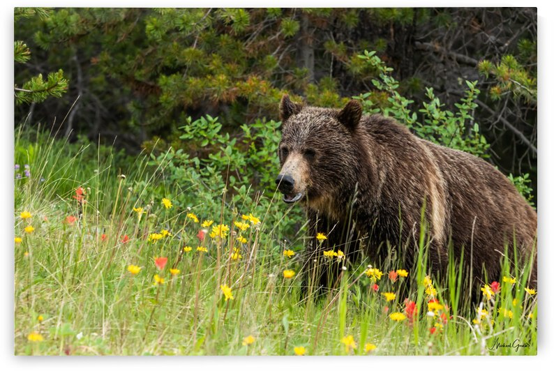Grizzly Bear Sow 142  IMG_5130 by Mike Gould Photoscapes