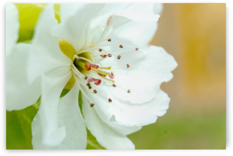 Pear Blossom - No. 2 by RDCushing