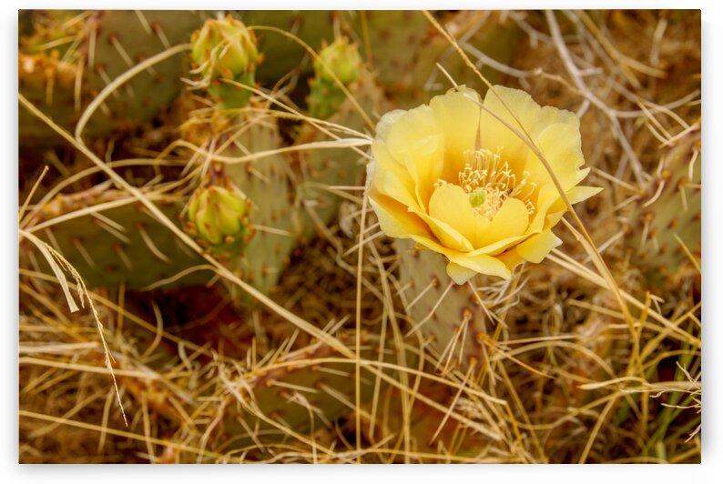 Cactus Flower in the Desert by RDCushing