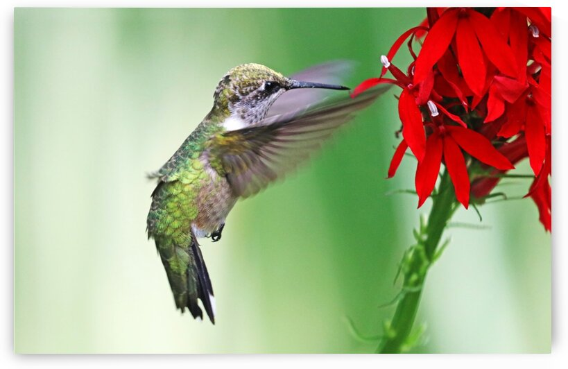Embrace The Cardinal Flower by Deb Oppermann