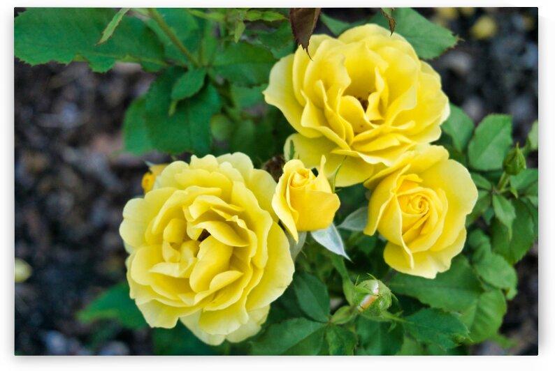 Rose Garden - No. 7 by RDCushing