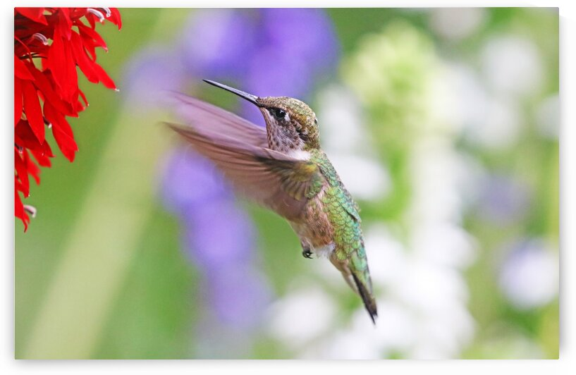 Incoming Hummer by Deb Oppermann