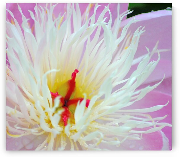 White Peony Stamen by Joan Han