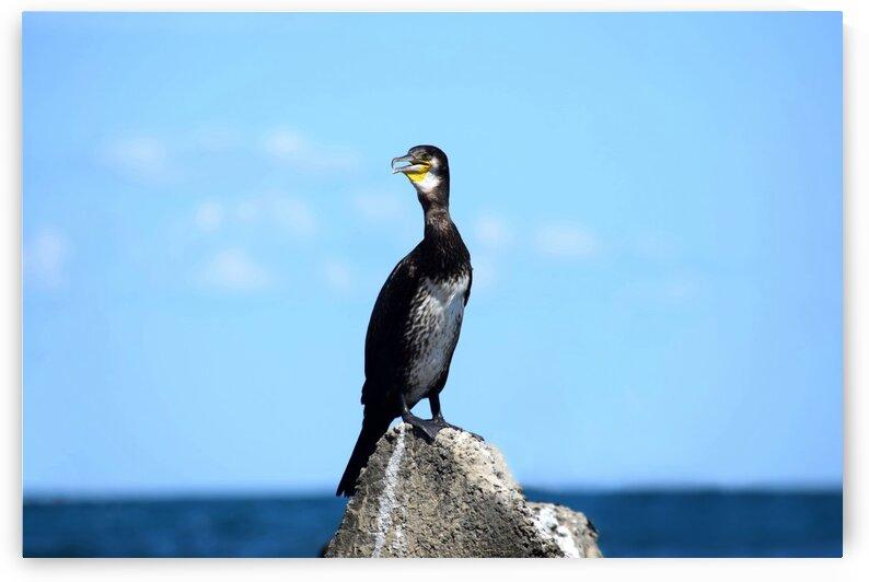 Great Black Cormorant at the Sea by Kikkia Jackson