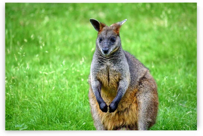 Cute Kangaroo Colorful Portrait by Kikkia Jackson