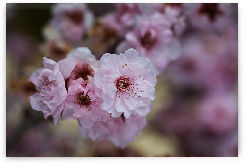 Spring Pink Blossom Nature by Joy Watson