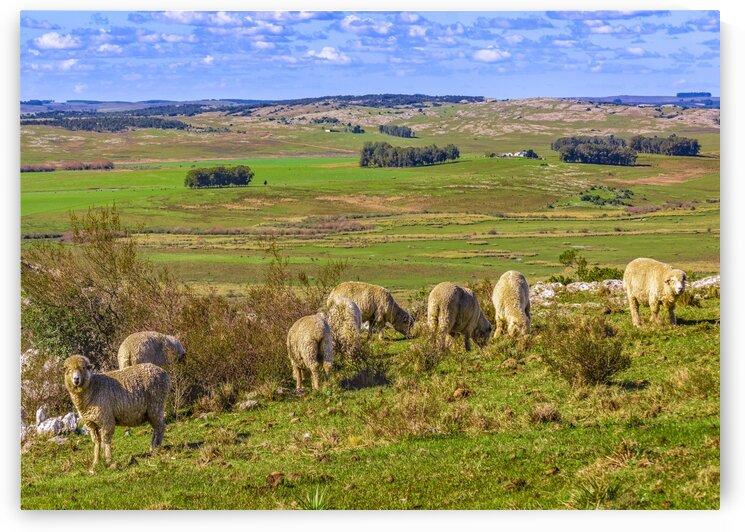 SheepsatCountrysideLandscapeSceneUruguay by Daniel Ferreia Leites Ciccarino
