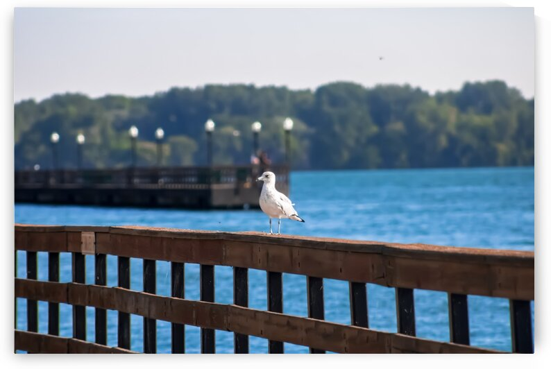 Seagull Chilling by Phoenix Wilbur