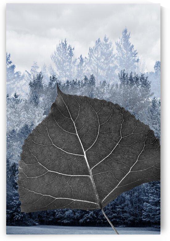 Poplar Cottonwood - Peuplier deltoide - Populus deltoides by Francois Lariviere