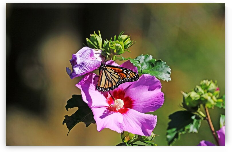 Monarch And Rose Of Sharon by Deb Oppermann