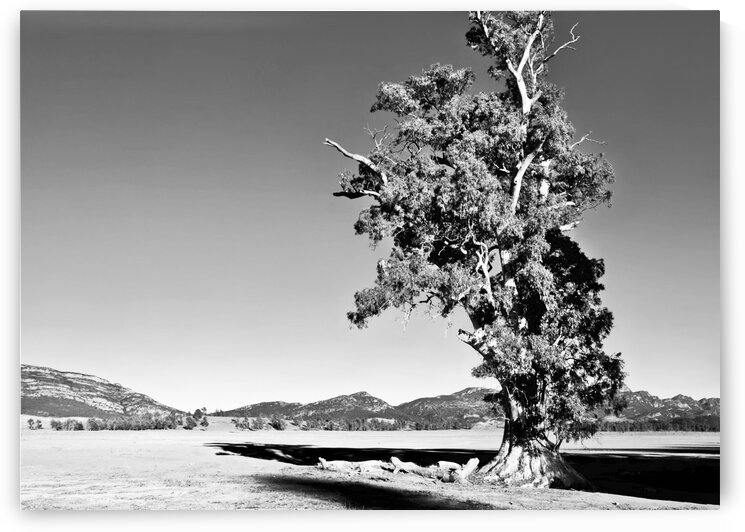 Alone - Cazneaux Tree BW by Lexa Harpell