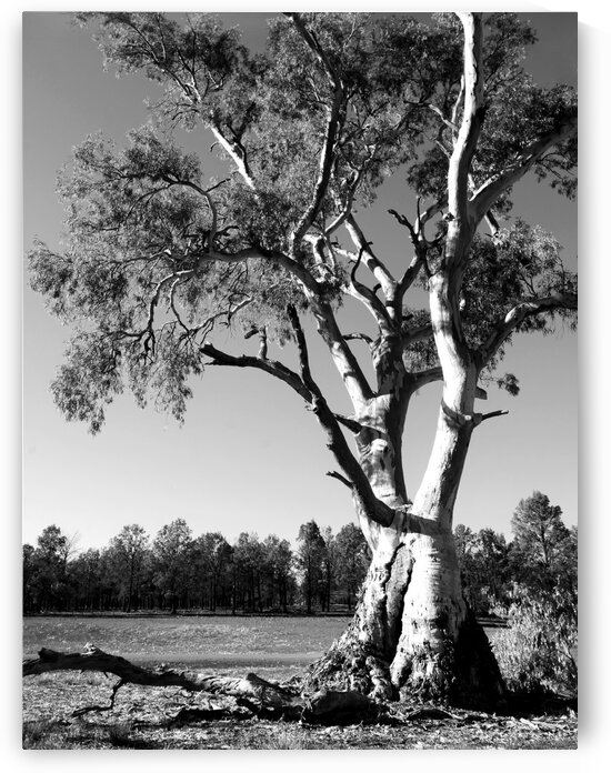 Gum Tree in the Flinders Ranges BW by Lexa Harpell