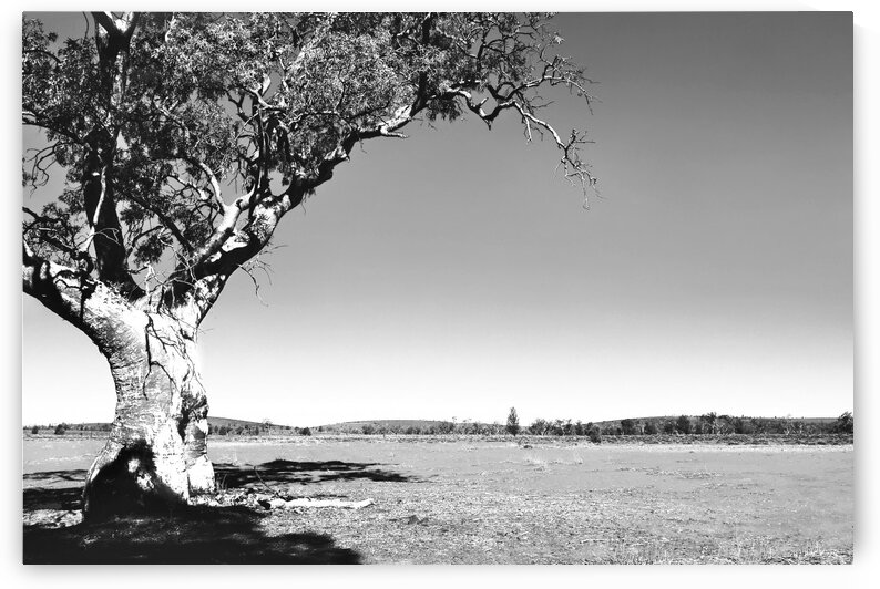Gum Tree in the Flinders BW by Lexa Harpell