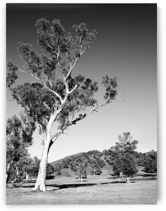 Australian Gum Tree BW by Lexa Harpell