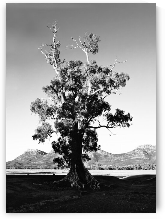 Cazneaux Tree BW 2 by Lexa Harpell