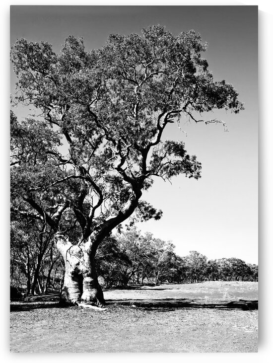 Old Gum Tree BW by Lexa Harpell