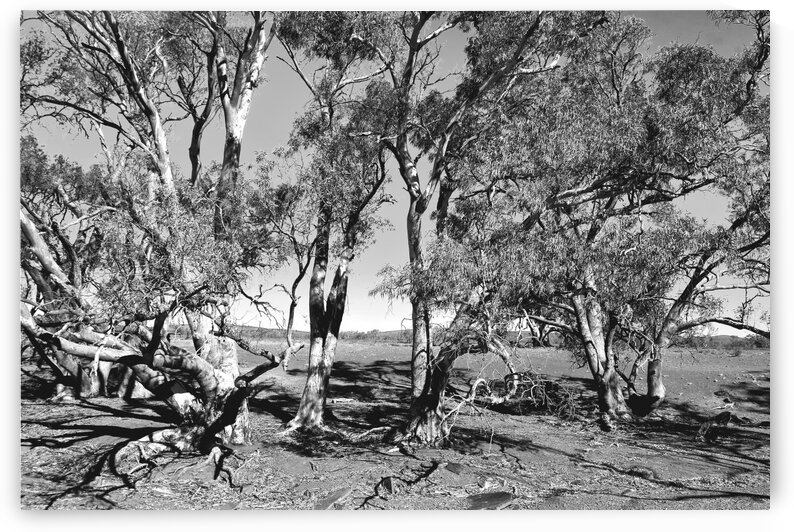 Gum Trees in the Flinders BW  by Lexa Harpell