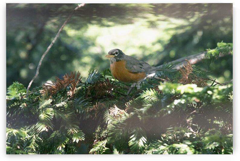 Robin by Konstantin