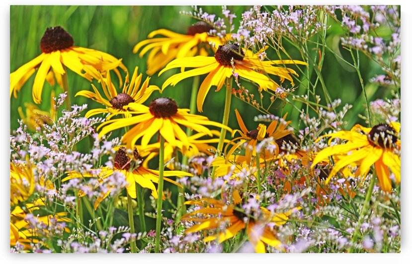 Black Eyed Susans And Sea Lavender by Deb Oppermann