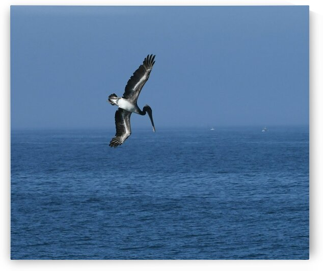 Pelican Dive by H.Hart Photography