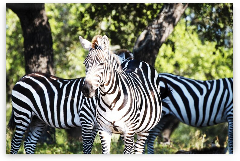 ZEBRAGROUPOF3 by Kristy May Photography