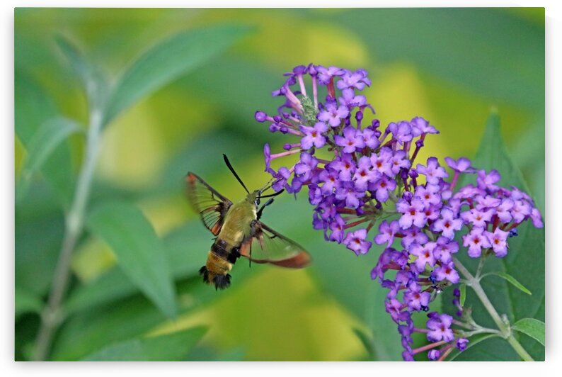 Hummingbird Moth And Buddleia by Deb Oppermann