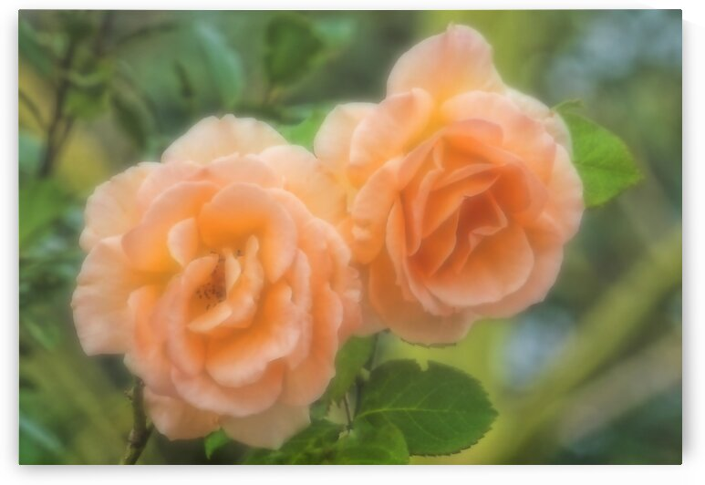 Roses-Two Of A Kind  by HH Photography of Florida