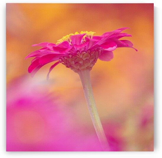 Pink Dreamy Zinnia by Joan Han