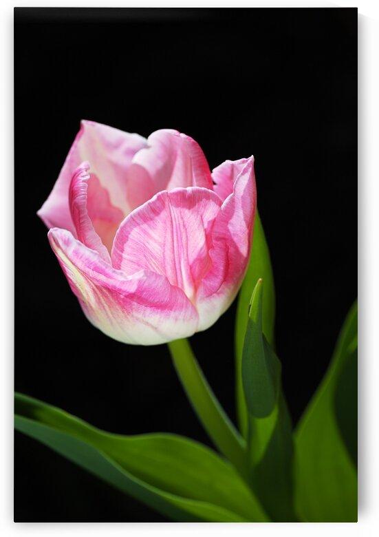Tulip Pink and Soft White by Joy Watson