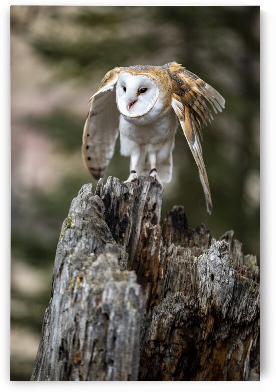 Barred Owl by Kaye