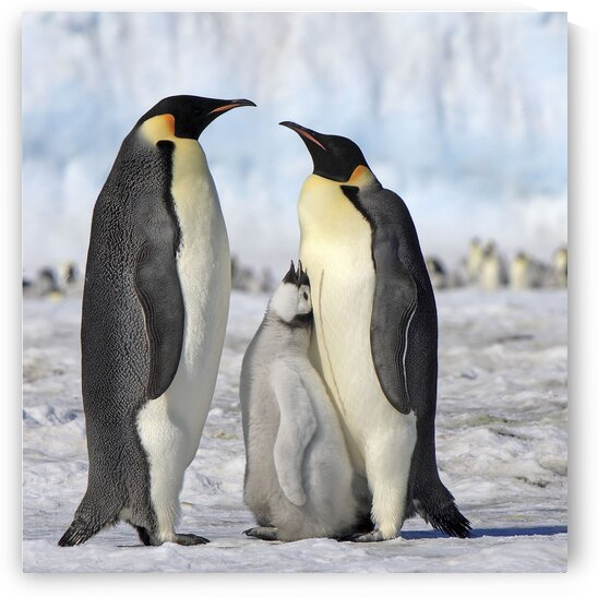 Emporor Penguin Family by Kaye