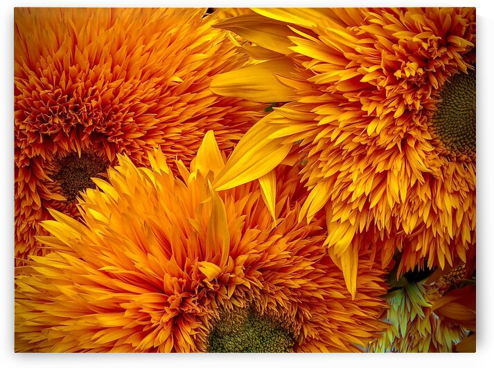 Fluffy Yellow Sunflowers by BotanicalArt ca