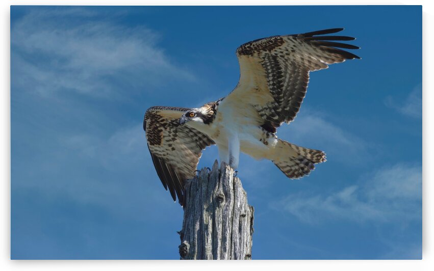 Osprey Wings  by Chris Seager