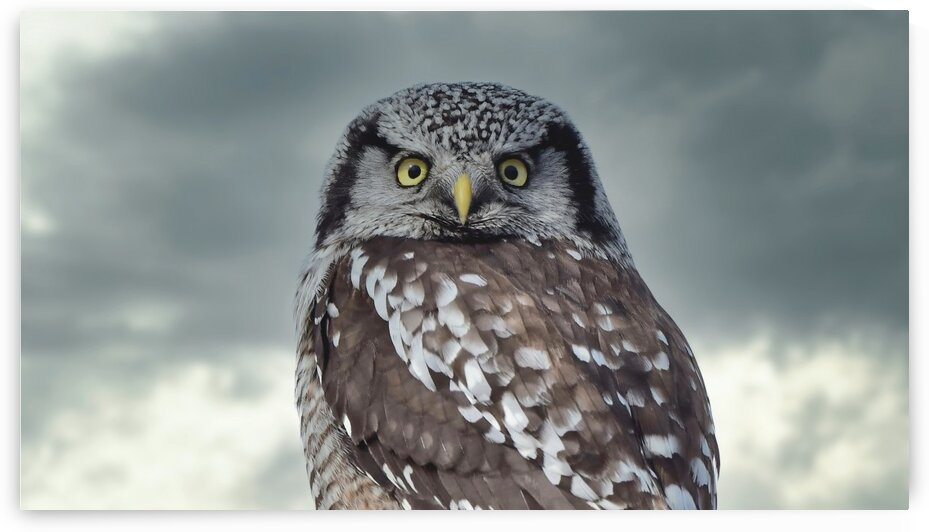 Hawk Owl Storm 2 by Chris Seager