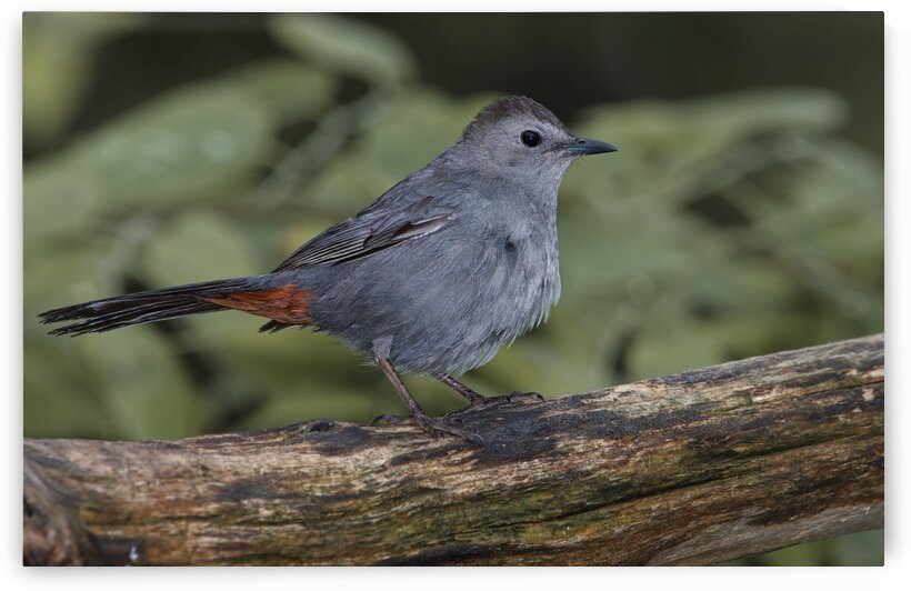 Catbird by Chris Seager