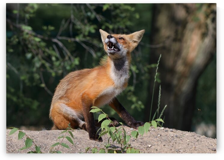 Fox reaction by Chris Seager