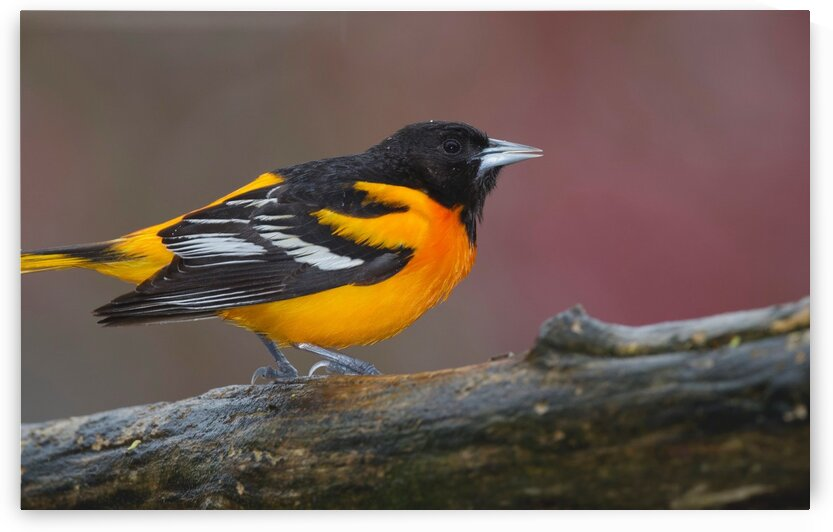 Baltimore Oriole by Chris Seager