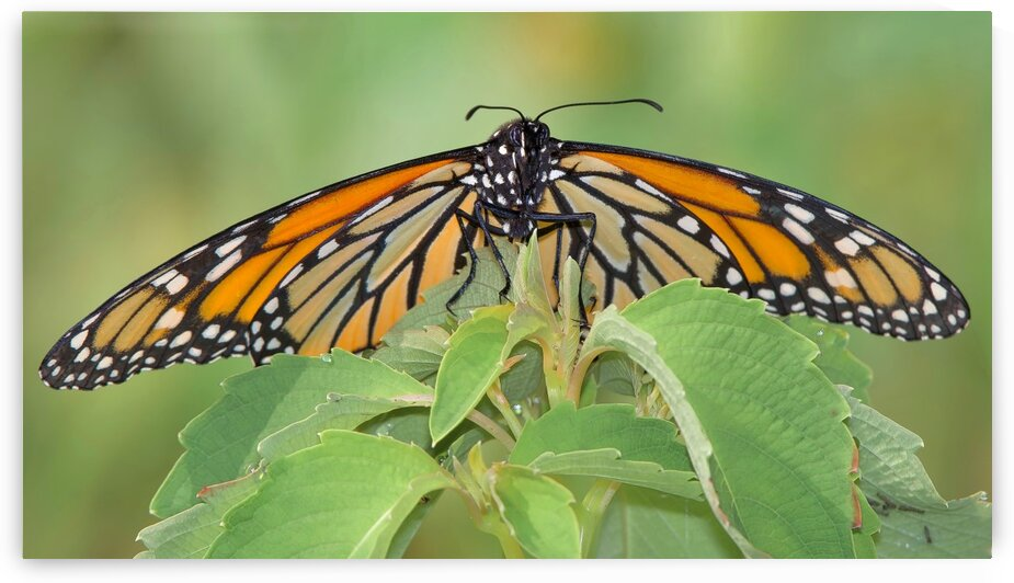 Monarch by Chris Seager