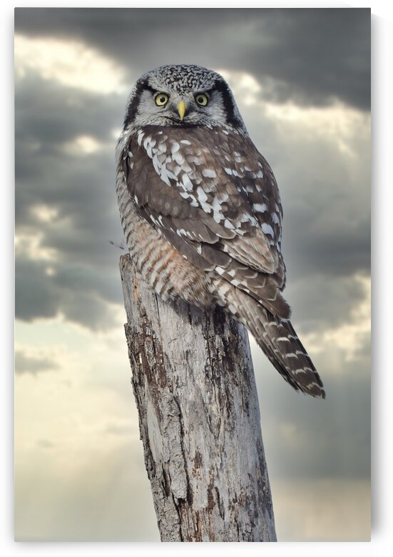 Hawk Owl Storm by Chris Seager
