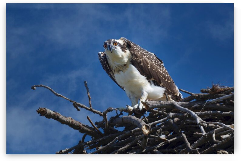 Osprey at Nest  by Chris Seager