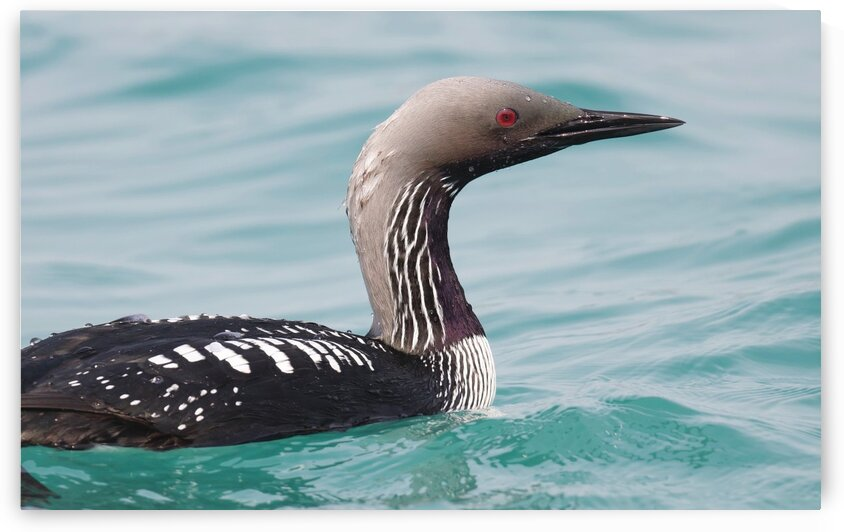 Pacific Loon 1 by Chris Seager