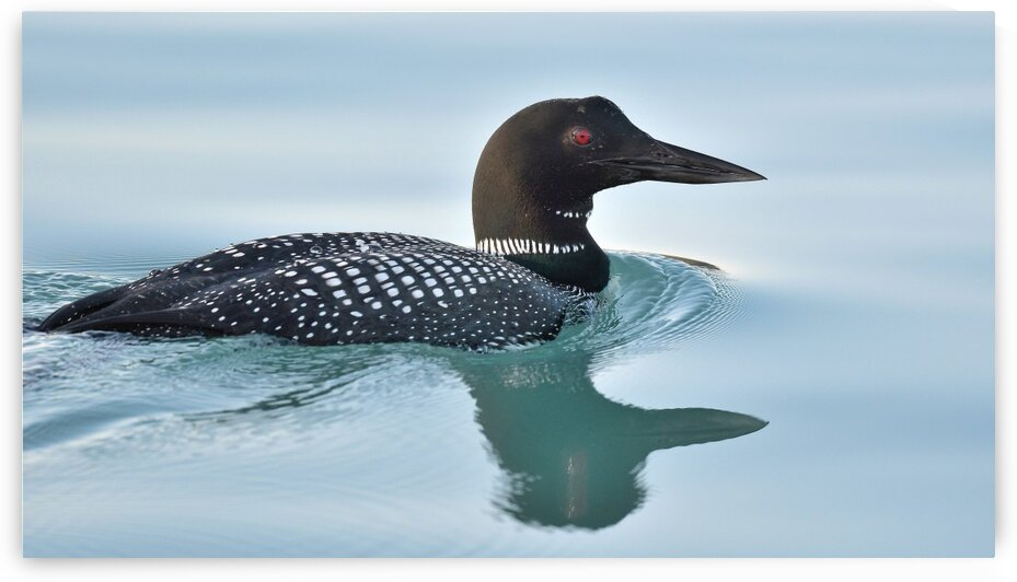 Common Loon 2 by Chris Seager
