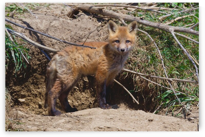 Red Fox kit by Chris Seager