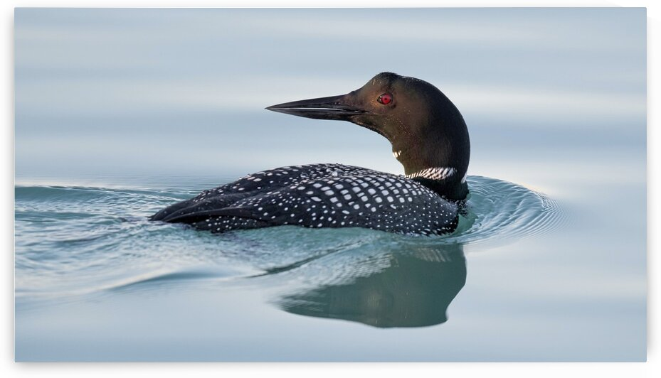 Common Loon 1  by Chris Seager